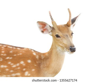 Young dear standing isolated on white background with clipping path
