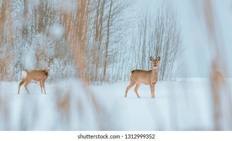 Young deer with brown fur looking for food on a snowy field with a forest in background. Thrilled facial expression staring straight. Bucks running over a field creating a picturesque winter landscape