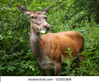 Young deer in the bushes at the edge of the forest looking for food
