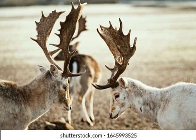 Young deer couple fighting, view from side profile during winter morning.