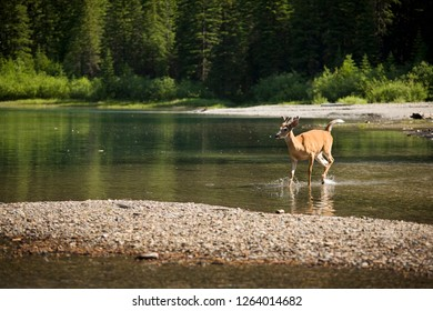 Young Deer Crosses a Lake in Rocky Mountains, in Montana