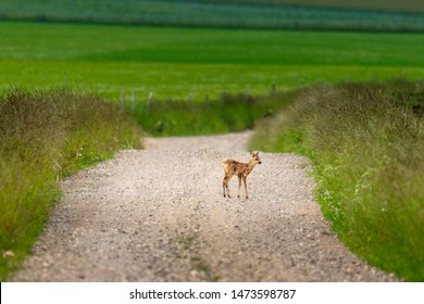 young deer fawn on country road