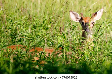 A young deer hides in a field of tall grass