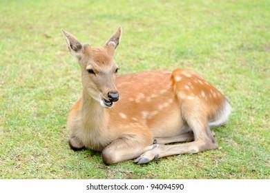 Young deer lies on green grass