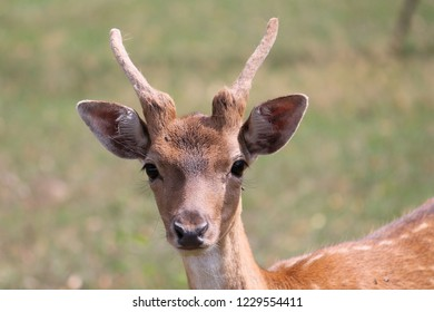 A young deer is looking at the camera