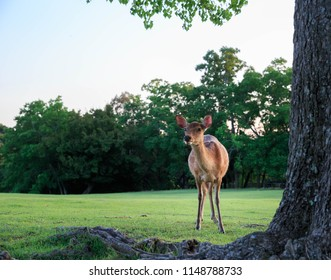 Young deer looking curiously on grassy field at Nara Park