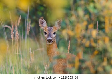 A young deer looks out of the grass