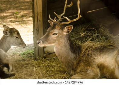 Young deer lying on straw
