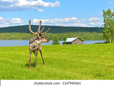 Young deer (male) in green glade. Summer landscape. Finnish Lapland