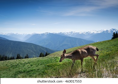 young deer in motion running in mount of Hurricane Ridge, Washington State, USA