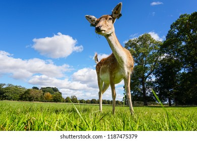 The young deer in the Phoenix park. Dublin.
