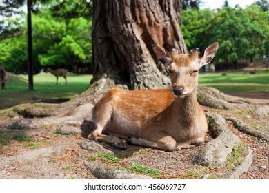 A young deer relaxing at Nara Park in Nara Prefecture, Japan.