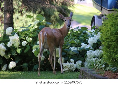 Young deer snacking in a neighborhood yard