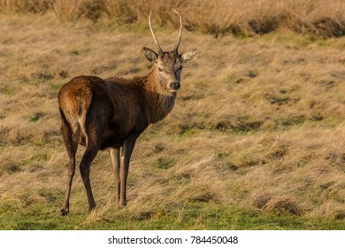 Young deer stag