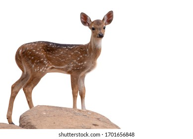 A young deer standing on the  white background
