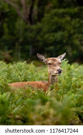 Young deer in tall grass at Richmond park in London