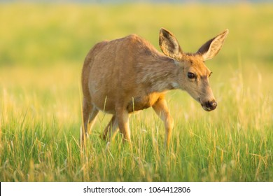 A young deer wades through the grassses of Rocky Mountain Arsenal National Wildlife Refuge in Denver, Colorado