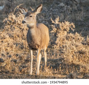 Young Deer In The Wild