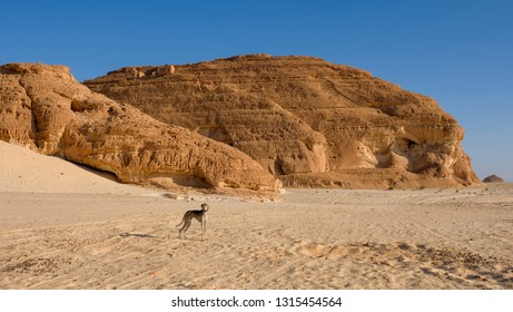 Young desert dog saluki in its natural surrounding, on the background of sand and mountains, Sinai desert, Egypt