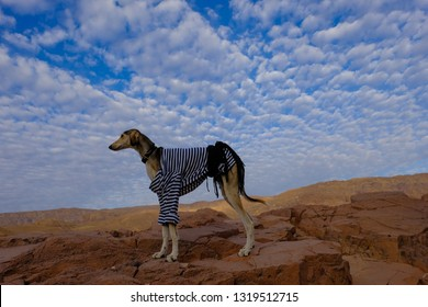 Young desert dog saluki in its natural surrounding, on the background of blue sky with beautiful white clouds, Sinai desert, Egypt