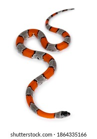 Young detailed shot of Grey banded King snake aka Lampropeltis Alterna bliari, isolated on a white background.