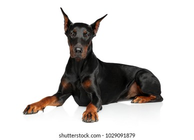 Young Doberman graceful lying on a white background