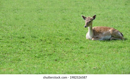 A young doe (dama dama) sits outdoors on a green meadow in springtime - Shutterstock ID 1982526587