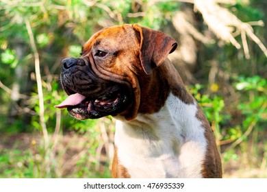 young dog breed  german boxer standing outdoors in sunlight in the evening, dog, doggy, pawl, doggie,