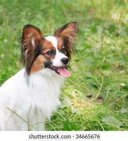Young dog of breed papillon on a grass