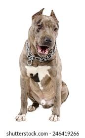 Young dog breed pitbull sitting yawning isolated on white background