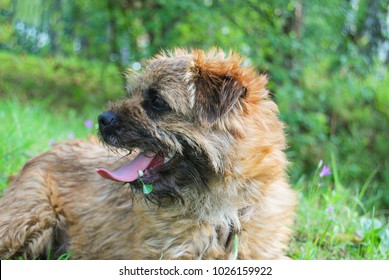 A young dog breeds a border terrier lies on a green grass with an open jaw