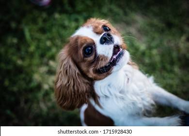 A young dog of the Cavalier King Charles Spaniel parody stands on its hind feet on bright green summer grass full of clover flowers
