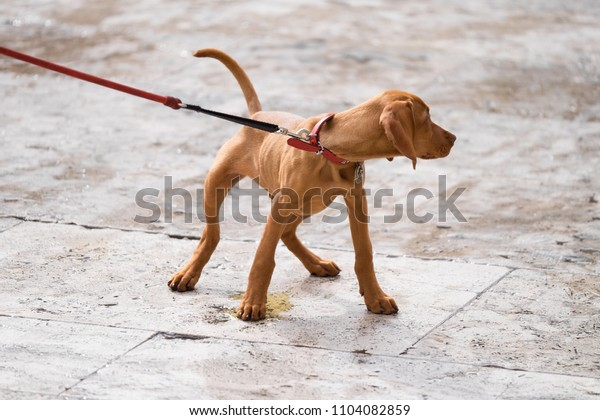 Young dog with collar pulls on the belt and pees on a tiled floor on a square