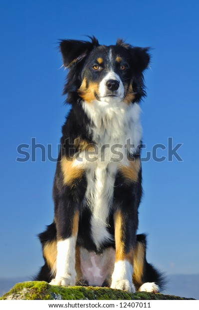 Young Dog Cross Between Border Collie Stock Photo Edit Now