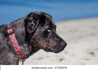 Young dog with different color eyes playing at the beach by the ocean water on a beautiful sunny day.