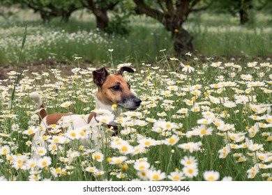 a young dog fox terier stands on a chamomile flower field
