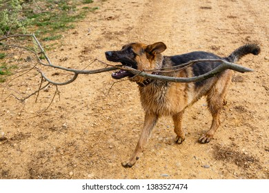 Young dog of German Shepherd breed, playing with the branch of a tree.