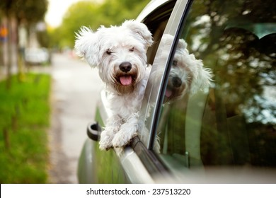 Young dog , maltese puppy looking out the car window