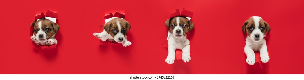 Young dog posing. Cute puppy or pet posing happy isolated on red studio background. Studio photoshots. Creative collage of different breeds of dogs. Flyer for your ad.