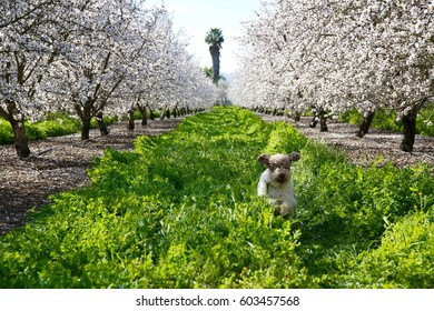A young dog runs in the tall grass among several mature almond trees in full bloom.