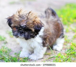 Young dog Shih Tzu