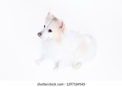 young dog sitting with white and beige fur