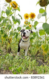 Young dog under sunflowers