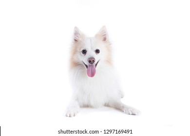 young dog with white and beige fur, with facing the camera and tongue out
