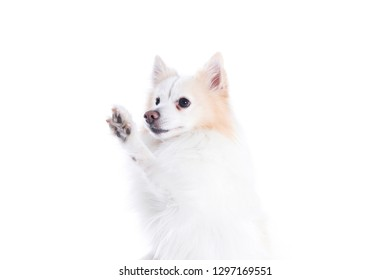 young dog with white and beige fur and with that gives the paw