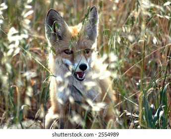 young dog-fox on the oat field