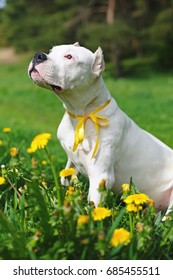 Young Dogo Argentino dog with cropped ears and yellow ribbon on its neck sitting outdoors on a green grass with yellow dandelions