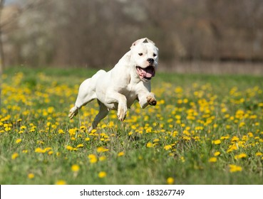 Young dogo argentino running on meadow with yellow dandelion