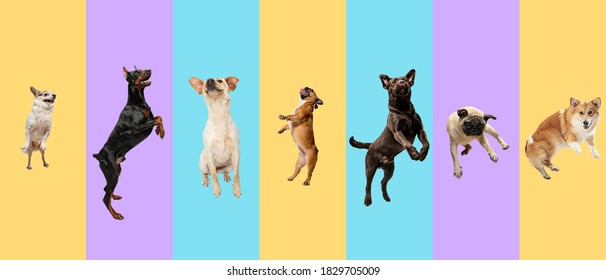 Young dogs, pets jumping high, flying. Cute doggies or pets are looking happy isolated on multicolored background. Studio photoshots. Creative collage of different breeds of dogs. Flyer for your ad.