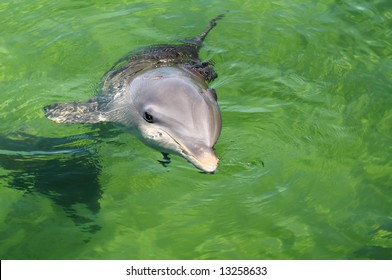 Young dolphin near Cuban coast